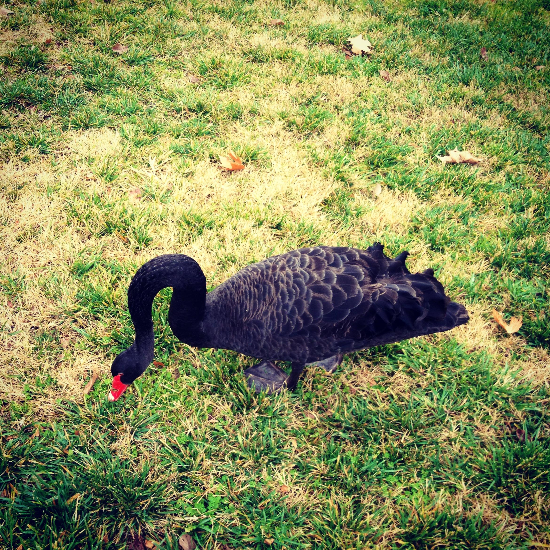 Canberra Black Swan